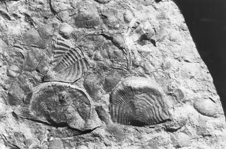 Usk Fossil